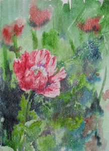 Red opium poppy
