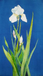 whie iris on blue background