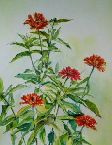 bright red zinnias